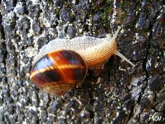 Salyangoz... Sallangas... Snail... (Alev Baaran (arkeolog59)) Tags: snail caracol salyangoz anawesomeshot natureselegantshots