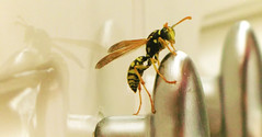 ... (B.i.n.a) Tags: nature animals insect fly break natura bee volo honey ape animale insetto riflesso pausa volare