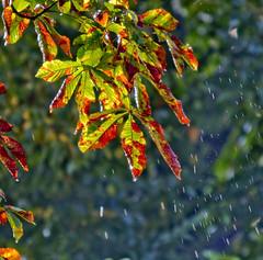 Wet (justfordream) Tags: autumn nature wet leaves backlight herbst natur raindrops bltter gegenlicht nass regentropfen