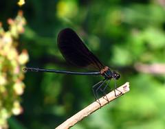 Calopteryx haemorrhoidalis (giselanto) Tags: sardegna macro sardinia bugs insetti libellula odonata floraefaunadellasardegna beautifulmonsters