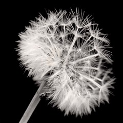 Diente de Leon (pablofersu) Tags: bw flores flower blakandwhite blancoynegro kodaktmax100 dektol orientalseagull