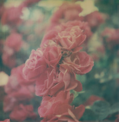 (jeffreywithtwof's) Tags: flowers red roses flower film jeff brooklyn analog polaroid sx70 1 bloom instant flush alpha hutton clintonhill atz jeffhutton integralfilm prattgardens theimpossibleproject artisitctz jeffhuttonphotography jeffreyhutton