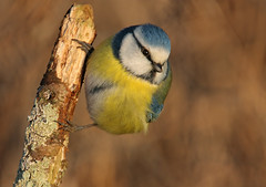 Blue Tit (graspnext) Tags: searchthebest
