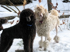 What (Foxxy & Baldr) Tags: snow cords nh londonderry standardpoodle baldr foxxycleopatra