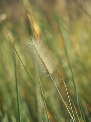 Seed Bokeh (greenkayak73) Tags: friends dog grass fun skull kayak december tide southcarolina seed cotton kayaking bones exploration bluffton mayriver seaislands photopaddling lowcountryunfiltered perceptiongroup