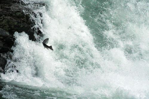 river_salmon