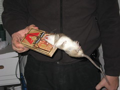 Dead Rat in Trap