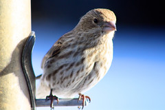 Chirp Chirp (thisisbrianfisher) Tags: winter bird animal outside outdoor brian small feeder eat fisher feed bfish brianfisher thisisbrianfisher