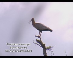Theristicus melanopis (Black-faced Ibis) (Arthur Chapman) Tags: argentina birds tierradelfuego ushuaia video aves blackfacedibis theristicusmelanopis theristicus melanopis taxonomy:class=aves geo:country=argentina taxonomy:binomial=theristicusmelanopis taxonomy:genus=theristicus taxonomy:common=blackfacedibis geocode:accuracy=2000meters geocode:method=googleearth