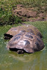 Giant Tortoises in water hole 04