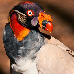 Royal Colors (JLMphoto) Tags: portrait bird nature colors wildlife royal explore vulture kingvulture potofgold naturesfinest bej specanimal avianexcellence theperfectphotographer goldstaraward photosexplore jlmphoto vosplusbellesphotos