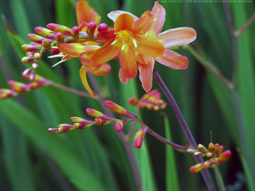 CROCOSMIA 'Highlight'