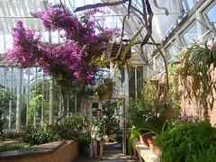 Bougainvillea (Silas Price 1978) Tags: ingrid göteborg gothenburg bougainvillea greenhouse