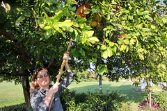 grapefruit picker