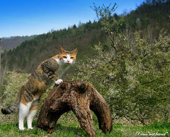 Relic of the past (Xena*best friend*) Tags: wood wild italy pet cats fur chats spring furry woods feline tiger kitty kittens piemonte gato gatto katzen feral monicabellucci monicab wildanimals blueribbonwinner canondigitalixus50 kissablekat piedmontitaly bestofcats theunforgettablepictures betterthangood