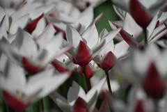 Tulipa Clusiana, Peppermintstick (Otomodachi) Tags: flowers white detail macro spring dof purple tulips april lente wit 2009 bloemen tulipa noordholland keukenhof tulpen paars voorjaar lisse tulipaclusiana peppermintstick