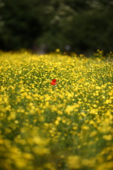 Love Over Gold (Ian Hayhurst) Tags: field yellow solitude alone dof meadow solo poppy lonely shallow wildflower buttercups tallpoppy abigfave canonef200mmf28liiusm herbiseed