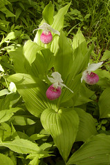Cypripedium reginae (Showy or Queen Lady's Slipper, the Minnesota State Flower) (Aeranthes) Tags: orchid minnesota orchids orchidaceae reginae slipper ladyslipper ladysslipper slipperorchid cypripedium queenladysslipper cypripediumreginae showyladysslipper cypripedioideae slipperorchids