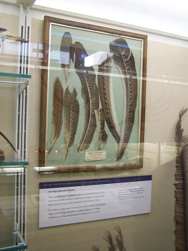 Pheasant feathers, University Museum of Zoology, Cambridge
