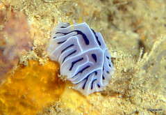 Nudibranch - Okinawa, Japan