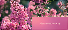 Lagerstroemia Indica (Crape Myrtle) (Brandon Christopher Warren) Tags: pink flowers trees plants cute green leaves sunshine canon design petals stem pretty graphic happiness northcarolina round stems blocks delicate 70200mm crapemyrtle lagerstroemiaindica isusm eos5dmarkii