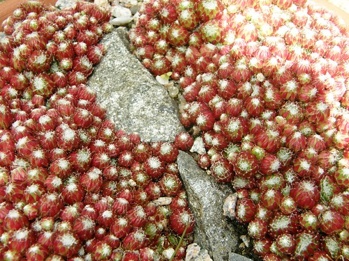 cactus chiquitos