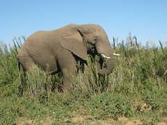check out the trunk at work. (jojo_butts) Tags: elephant honeymoon bigfive kwazulunatal hluhluweumfolozi