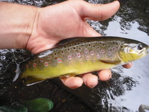 Small Stream Brown