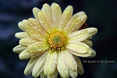 tears for you- FP (NURAY YUZBASI) Tags: flower macro yellow turkey tears dof searchthebest details drop explore 1855mm frontpage ankara foryou breathtaking naturesfinest iin dasiy gzya gnl mywinners canonrebelxti platinumphoto flickrdiamond theunforgettablepictures iee macrolovers 100commentgroup vosplusbellesphotos saariysqualitypictures onfrontpage verenler