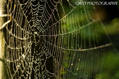 (GWD Photography) Tags: light shadow detail nature water rain closeup canon insect photography rebel xt 50mm prime spider necklace drops dof bokeh web depthoffield gordon dew 18 cob gwd