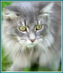 Maine Coon Kitten. (Church Mouse 07) Tags: park uk autumn nature animal cat silver lumix feline walk gorgeous longhair september panasonic mainecoon british platinumheartaward astoundingimages goldstaraward 100commentgroup alittlebeauty dmcfz28 churchmouse07 bestofspecialpetportraits