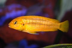 small Labidochromis sp mbamba (Appleskatephoto) Tags: fish tank malawi cichlids ciclidos mbunas