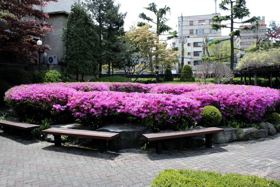 Japanese rhododendron(1)