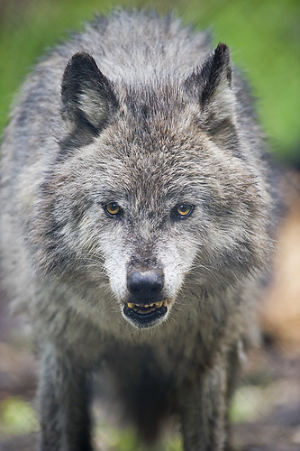 Wolf 18 by Dan Newcomb Photography