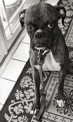 If Samuel L. Jackson was a dog.. (dog ma) Tags: blackandwhite bw dog pet training cash boxer dogma 2yearsold petportrait brindleboxer thelittledoglaughed nikkor35mm cashus nikond700 52weeksfordogs 25252weeksofdogs