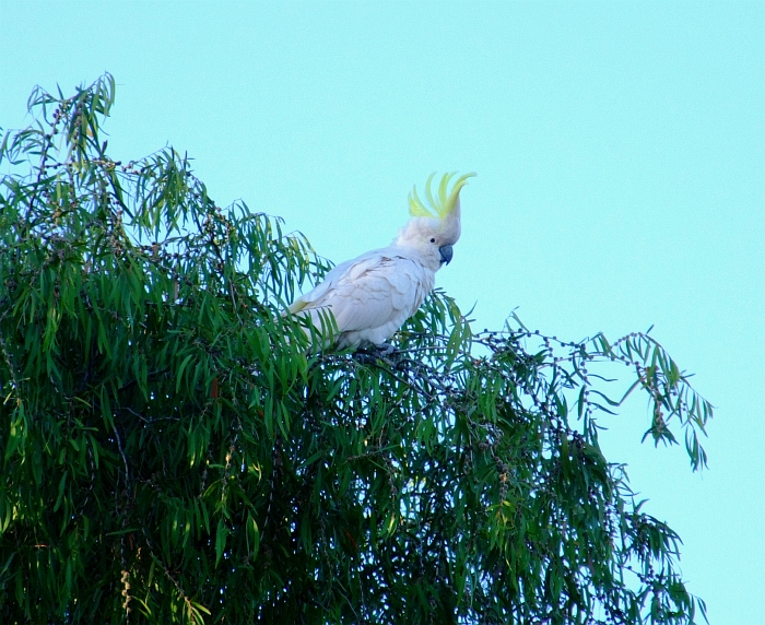 cockatoo with crest up