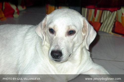"Whitey the ""White Labrador Retriever"""