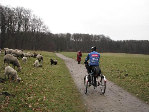 7-Rebanho de ovelhas ao longo do passeio