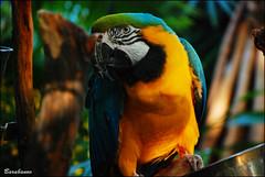 Bloedel Conservatory (Miss Barabanov) Tags: canada nature birds animals vancouver forest amazon nikon bc britishcolumbia natureza passarinho animais floresta pssaros ara canad arara queenelizabethpark amazonia bloedelconservatory ararauna d80 convervatrio