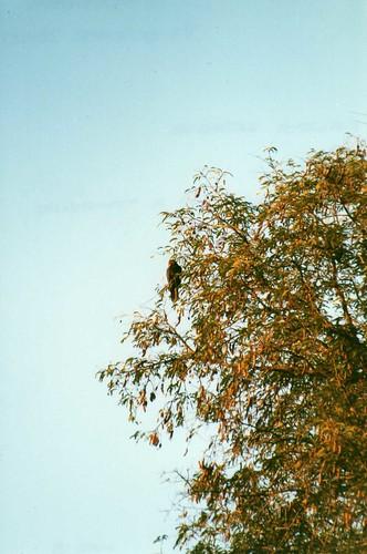 bird birds madagascar tamarind tamarindtree tamarindus greatervasaparrot coracopsisvasa vasaparrot amboasary coracopsis kaletareserve tamarindusindicus taxonomy:binomial=coracopsisvasa