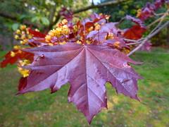 purple maple (Min_Max) Tags: macro nature leaves leaf maple purple mapletree beautifulexpression saveearth