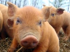 Hi there (LisaNH) Tags: heritage pig outdoor farm nh slowfood hog humane tamworth pastured grassfed albc mackhillfarm humanelyraised growfood arkoftaste