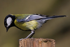 Great Tit (Ian Lambert) Tags: bird woodland garden table large feeder greattit aggresive platinumphoto