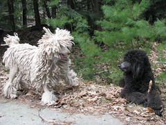 Baldr thinks Foxxy is being silly (Foxxy & Baldr) Tags: cords nh londonderry standardpoodle baldr foxxycleopatra 52weeksfordogs16 52fsuncloudsrain