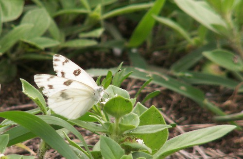Male Checkered White Nectaring on Pusley, Side View