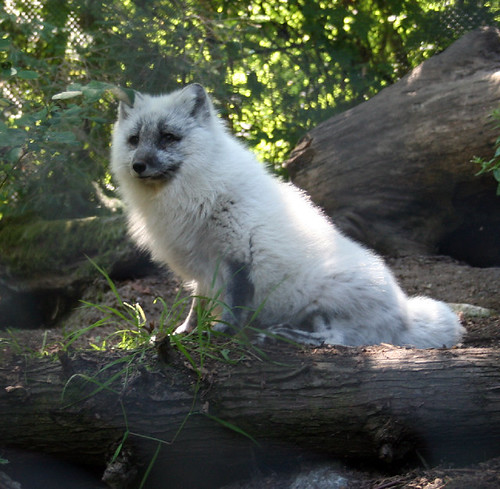 zoo arctic fox