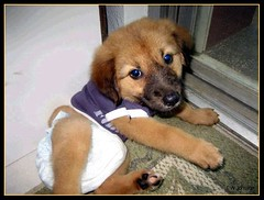 Cute Puppie 2 (Saipan Pictures) Tags: pictures dog cute puppy diaper clothes boonie saipan puppie booney