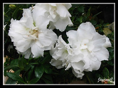 A white Rhododendron simsii (Chinese/Sim's Azalea) at Cactus Valley in Cameron Highlands, July 12 2009
