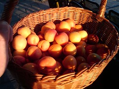 brought the apricots home