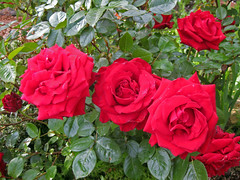 Ingrid Bergman, Roses in my backyard